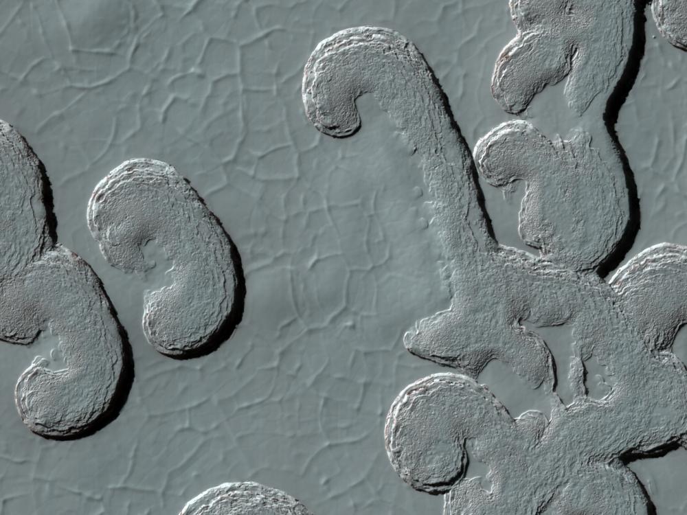 Polar Lobes
