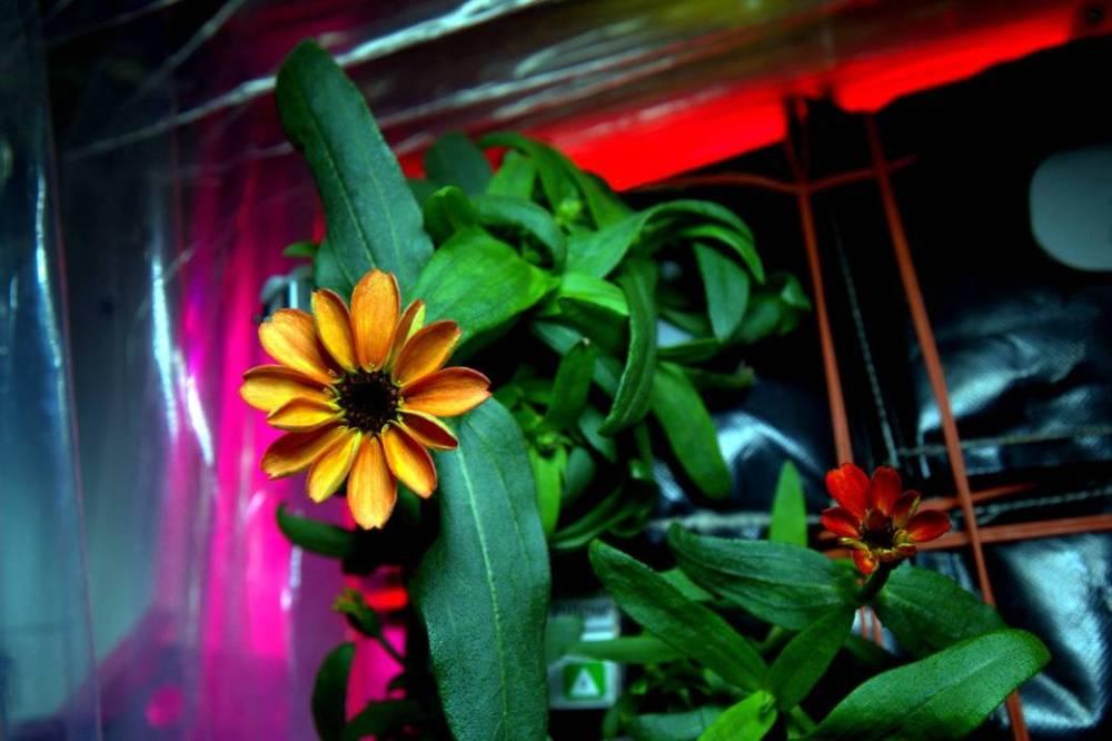 """Space Flower,"" the first flower grown on orbit (NASA)"